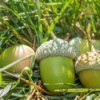 Pile of green acorns in grass