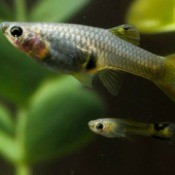 Adult and juvenile guppy with aquatic plants against black background