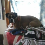 Boxer lying on blanket