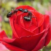 Two garden ants on red rose