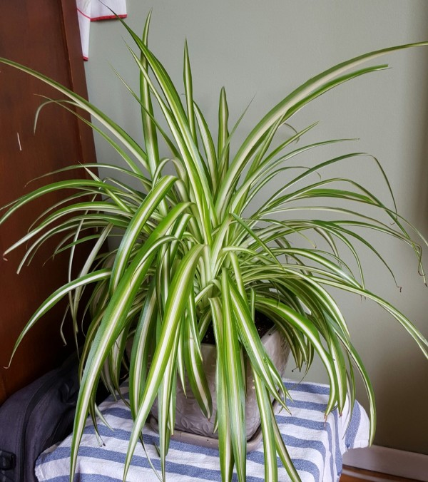 Growing A Spider Plant: Growing Spider Plants