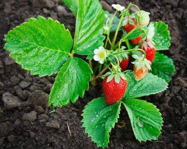 Strawberry Plants Not Producing | ThriftyFun