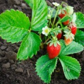 Strawberry plant in dirt