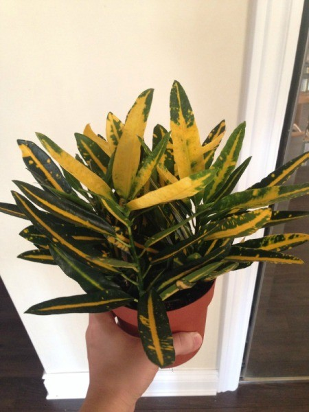 plant with dark green and yellow foliage