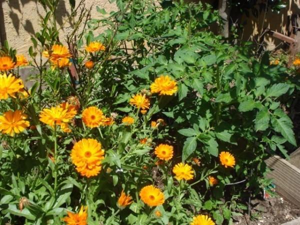 Marigolds For Pest Control Thriftyfun