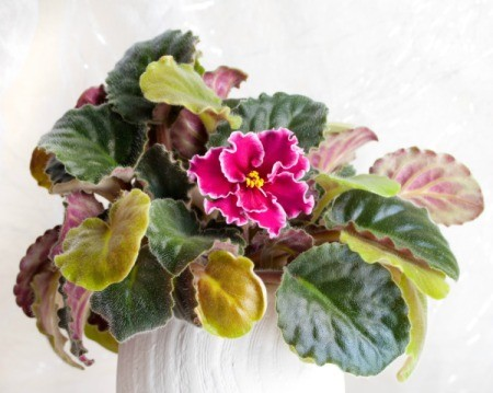 Potted African Violet with some yellow leaves