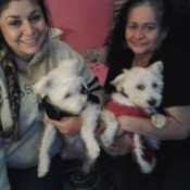 two creamy white terrier mix dogs