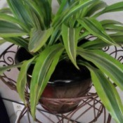 wide long variegated green leafed plant