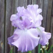 pale lavender and white iris