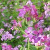 closeup of lunaria
