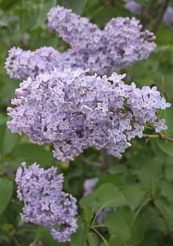 Eight Reasons Your Lilac Bush Won't Bloom