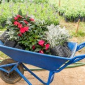 Phlox and Dusty Miller plants in a blue wheelbarrow