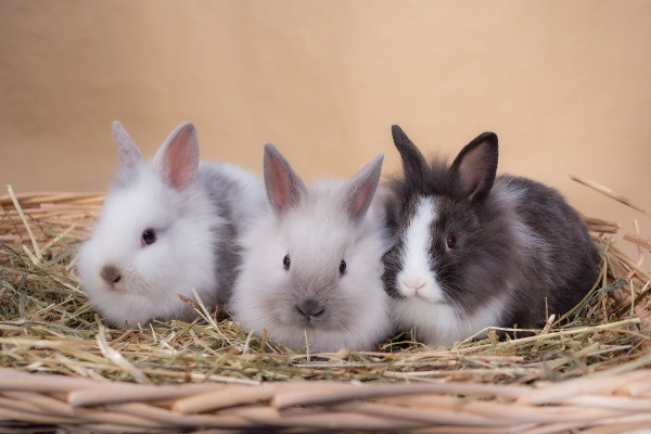 Keeping Dwarf Rabbits as Pets - three bunnies