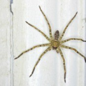 Huntsman spider against a white window frame