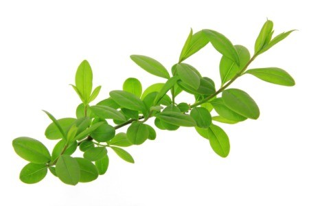 Privet branch against a white background