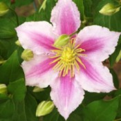 light and dark pink clematis flower