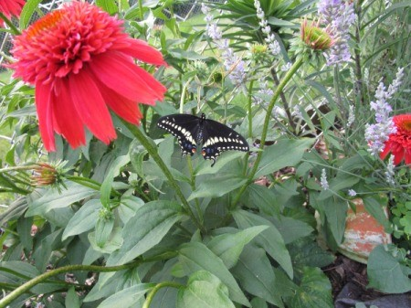 butterfly on bee balm plant