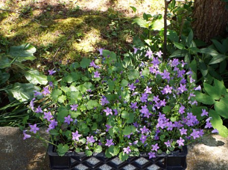 The Bellflower (Campanula Portenschlagiana)