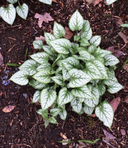 caladium like plant with white and green leaves