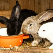Black, Brown, and White rabbit in wooden hutch eating out of a bright orange pot