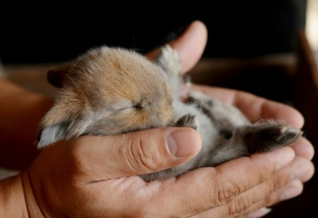 Very young baby bunny cupped by human hands