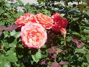 Gardening: Grow Larger Rose Blooms With Banana Peels