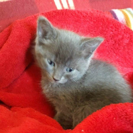 tiny grey kitten on red fleece blanket