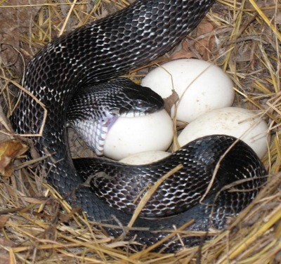 Wildlife: Snake Eating Duck Eggs