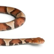 Copperhead snake against a white background