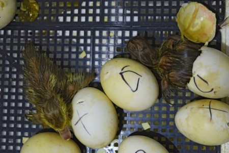 Baby ducks hatching in an incubator