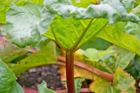 Rhubarb leaf with yellowing leaves in the background