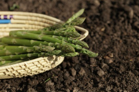 Asparagus spears in basket against a dirt background