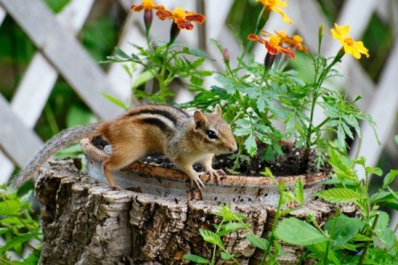 Chipmunk on stump next to planted flowers