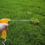 Hand spraying weed killer onto a largenweed that is in a perfect grass lawn