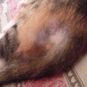 calico cat with hair loss
