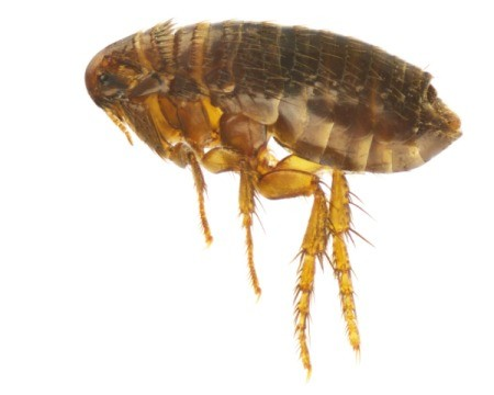 Magnified Image of a Flea against a white background