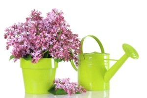 Lilac cuttings in a lime green pot next to a matching watering can