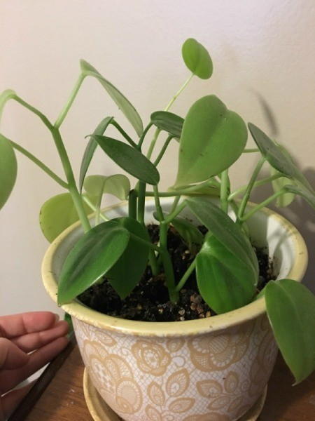 vining houseplant with heart shaped leaves