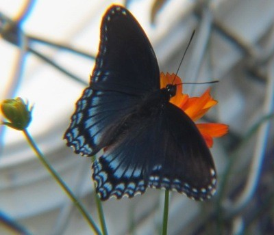 Wildlife: Butterfly