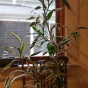 tall plant with variegated leaves