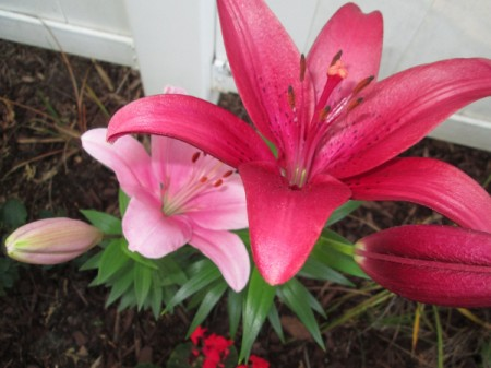 light and dark pink lily flowers