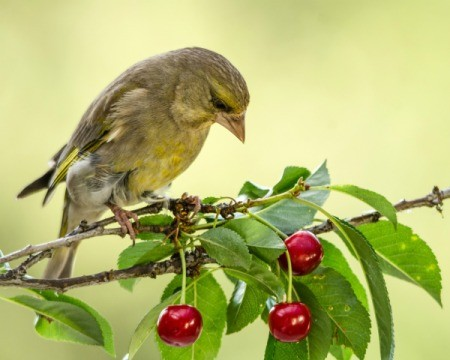 Bird on a branch with red cherries