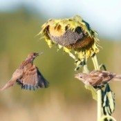Sparrows taking the seeds from a sunflower