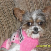 tricolor dog wearing a pink sweater