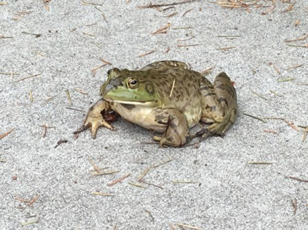 Froggy on the Driveway
