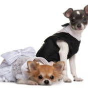 Two chihuahuas dressed in clothing