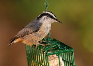 Bird Feeder Suet Recipe