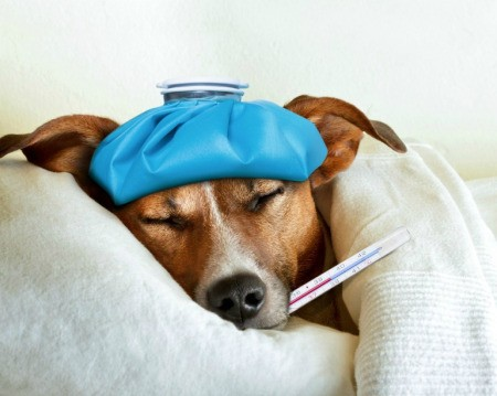 Dog laying under covers with cold pack on his head and thermometer in his mouth.