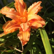 beautiful orange daylily