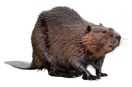North American Beaver against a white background